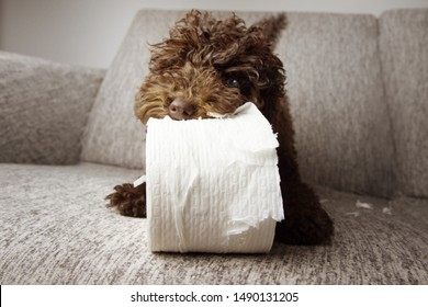 puppy dog mischief. poodle shedding and unrolling toilet paper. Disobey and education concept.