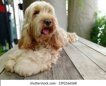 puppy dog on wooden table. cockapoo is mixed breeding english cocker spaniel and poodle it's long hair
