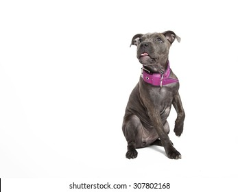 The puppy dog of Pitbull, licking its chops, giving a paw, selected on the white background