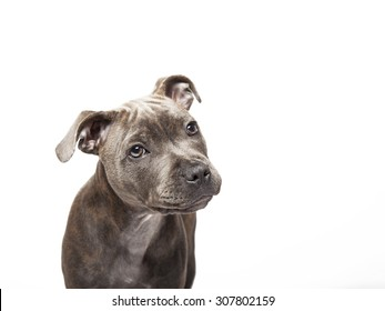 The puppy dog of Pitbull, selected on the white background