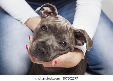 The puppy dog of Pitbull in woman's hands