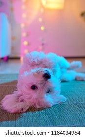 Puppy dog play inside on playroom