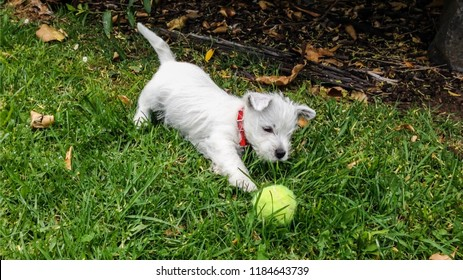 Puppy dog playing with tennis ball: west highland white terrier westie having fun on grass lawn outdoors in garden