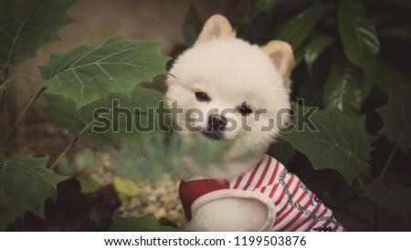Puppy Dog Pomeranian White Living Garden Stock Photo Edit Now