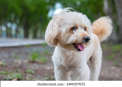 puppy dog, poodle terrier walking on park, Cute white poodle terrier, relax pet, poodle terrier mix, dog standing looking, animal funny