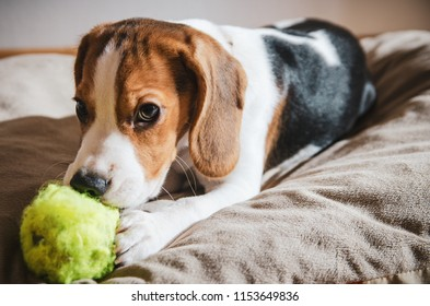 Puppy dog ripping ball apart Beagle dog purebred