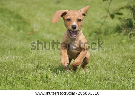 Puppy Dog Running Grass Stock Photo Edit Now 205831510 Shutterstock