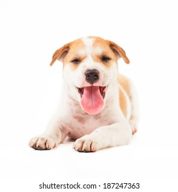 Puppy Dog showing tongue isolated on white background