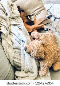 Puppy Dog Sleeping on Sofa Snuggled up with Teddy Bear Pillow and Blanket