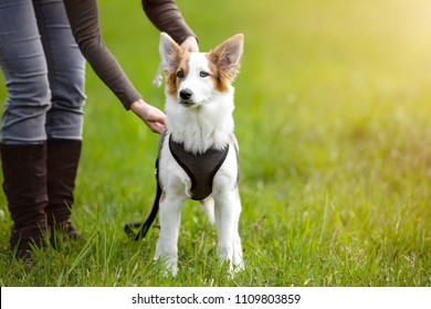 Puppy Dog standing on the meadow, woman leash or unleash her pet, copyspace