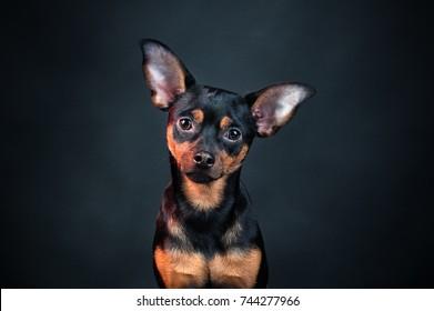 Puppy, dog, toy terrier portrait on a black background