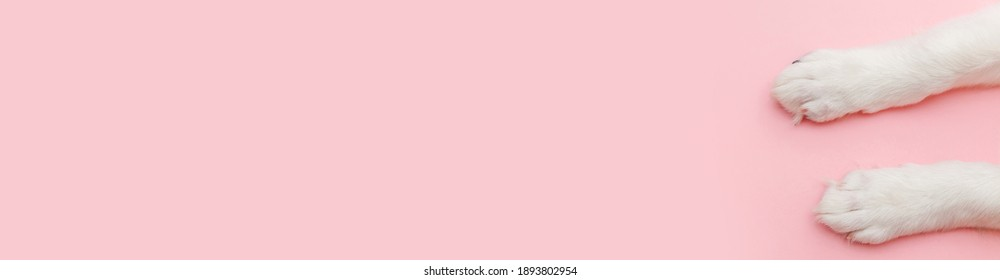 Puppy dog white paws isolated on pink pastel trendy background. Pet care and animals concept. Dog foot leg overhead top view. Flat lay copy space banner