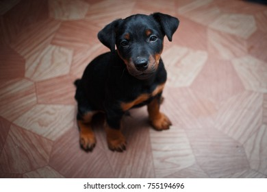 Puppy, dog, Yagter terrier, cute, teeth, mouth, baby, tan