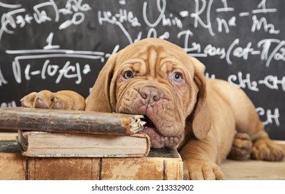 Puppy of Dogue de Bordeaux (French mastiff) chewing a book