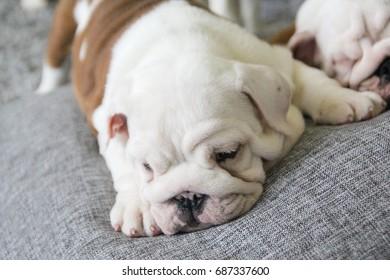 puppy of the English bulldog lies on white pillows on a sofa