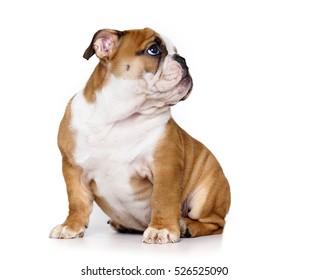 puppy english bulldog puppy sitting looking up