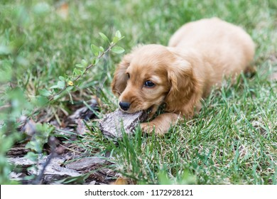 Puppy english cocker spaniel dog outdoors