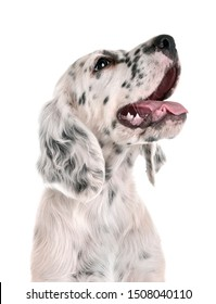 puppy english setter in front of white background