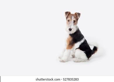puppy fox terrier in the studio