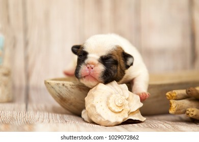 Puppy of the French bulldog