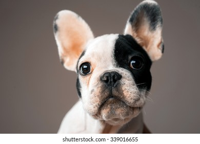 puppy French bulldog
