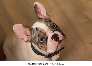 Puppy French bulldog with blue eyes seen from above.