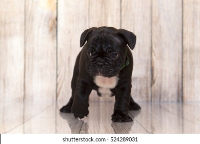 Puppy French bulldog dog