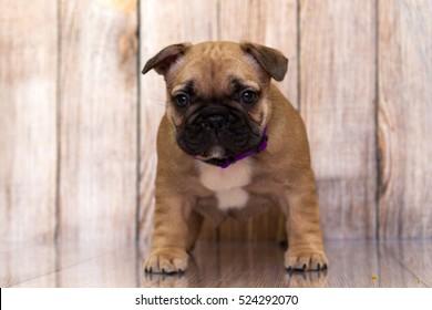 Puppy French bulldog dog