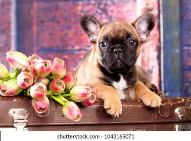 chiot d'un bulldog français et fleurs d'un tulip