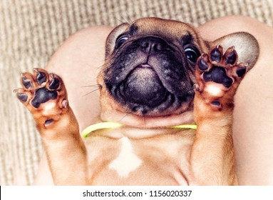 puppy of a French bulldog lying on his back, top view