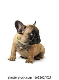 puppy french bulldog on a white background. animal. pet.