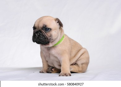 puppy French bulldog on a white background