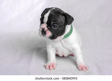 puppy French bulldog on a white background