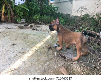 Puppy French bulldog walking, smell for area exploration, cute dog.