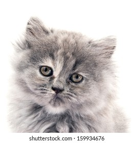 puppy furry cat in white background