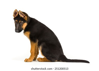 puppy german shepherd dog looking sad on white background