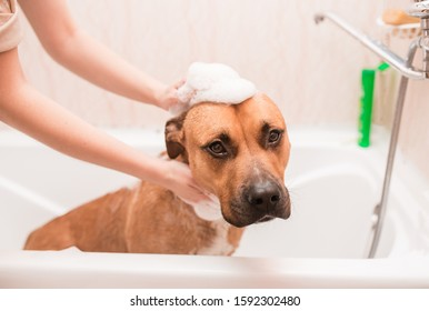 The puppy gets a bubble. pit bull in the bath, bathe the dog