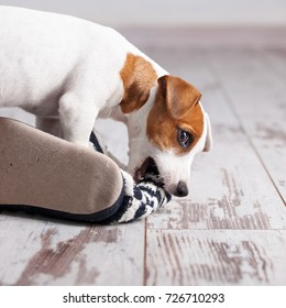 Puppy gnawing at home slippers. Naughty pet