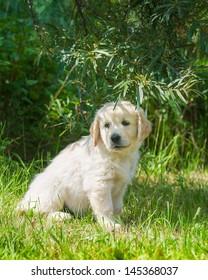 puppy of golden retriever