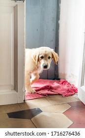 puppy of golden retriever dog look through the door inside at home