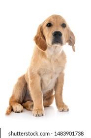 puppy golden retriever in front of white background