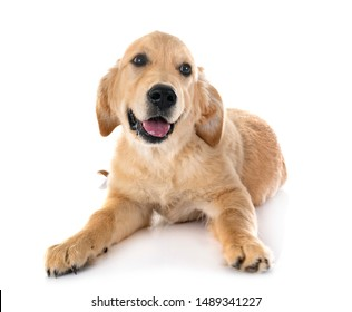 puppy golden retriever in front of white background