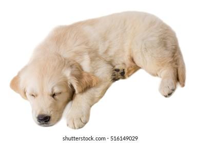puppy golden retriever on a white background