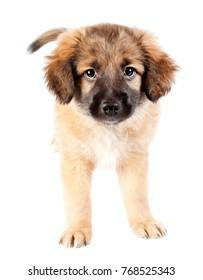 puppy of golden retriever (shepherd) isolated on white background