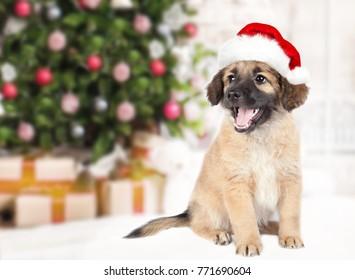 puppy of golden retriever (shepherd) in a red Santa hat