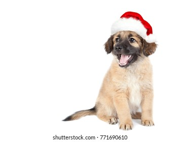cce14a80125b0 puppy of golden retriever (shepherd) in a red Santa hat