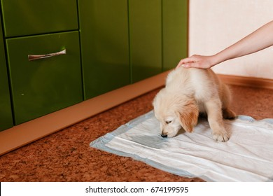 puppy of golden retriever walks to toilet on absorbent diaper. Concept training dogs cine.
