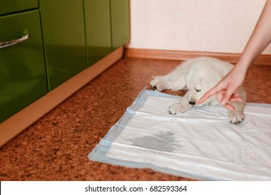 puppy of the golden retriever walks to the toilet on the absorbent diaper. Concept training dogs cine.