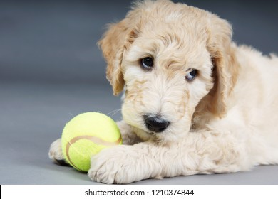 Puppy goldendoodle looking guilty with tennis ball