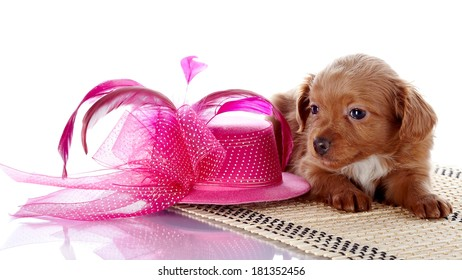 Puppy and a hat with feathers. Puppy in a hat on a rug. Puppy of a decorative doggie. Decorative dog. Puppy of the Petersburg orchid on a white background
